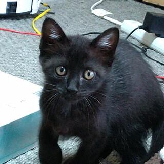 しっぽが長い美猫の黒トラちゃん