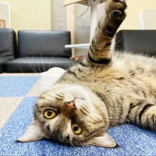 5歳 キジ猫 奇跡のさくら【エイズ陽性】