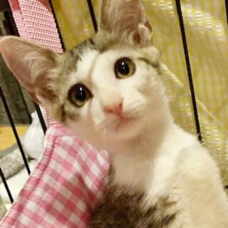 目鼻立ちくっきり!美人子猫のジェリーちゃん!