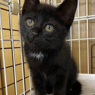 胸のエンジェルマークがポイントの黒猫りんちゃん