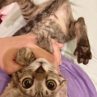 きれいなサビキジ子猫さん!キャリー!