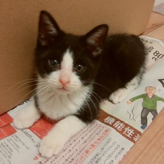 2ヶ月 白黒はちわれ猫【エイズ陽性】 くーくん
