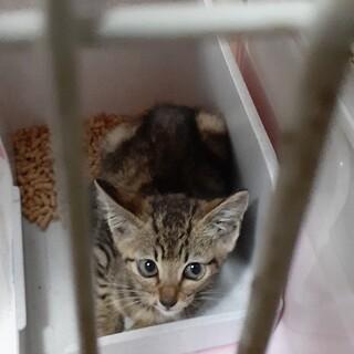 茶色キジトラ 子猫を保護しました、里親募集します。