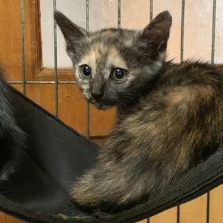 2ヶ月 サビ猫 よもぎちゃん(6兄妹)