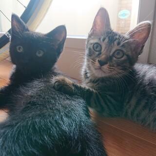 生後、約3ヶ月、キジトラと黒猫の兄妹