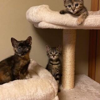 生後2ヶ月位の三兄妹 サビ猫麦ワラアメショぽい