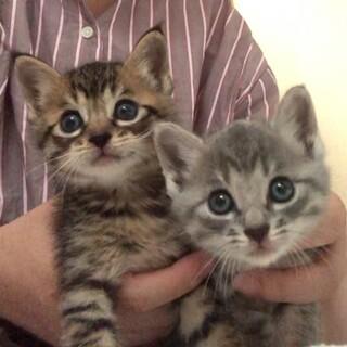 ちっちゃ可愛いグレー、キジトラ仔猫募集停止