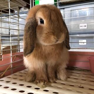 かわいい垂れ耳ウサギ~ロップイヤーの杏奈ちゃん~