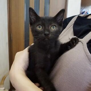 人馴れ抜群☆生後2か月☆黒猫の男の子