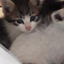 【毎日開催】保護猫の譲渡会 子猫&大人猫 サムネイル2