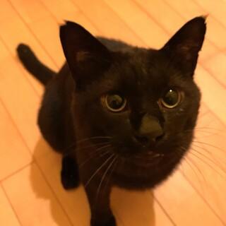7歳の大きな黒猫♂バロン君