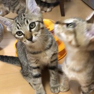 人間大好き★元気いっぱいキジトラ