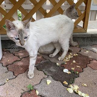 シャム猫、2匹、メス1歳、甘えん坊