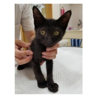雑種のオス2ヵ月半の黒い子猫ちゃん