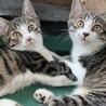 可愛い元気な兄妹猫☆家族にしてください