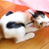 三姉妹のかわいいリーダー♡懐っこい三毛猫ランちゃん サムネイル6