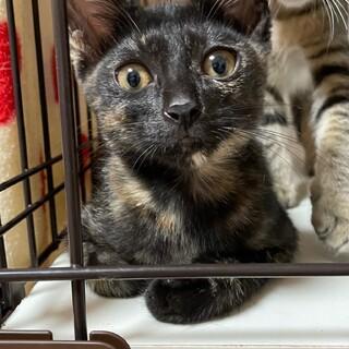 人懐っこい!とても綺麗な黒サビの子猫