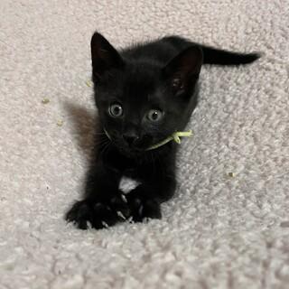 小さな黒豹みたいにカッコいい黒猫