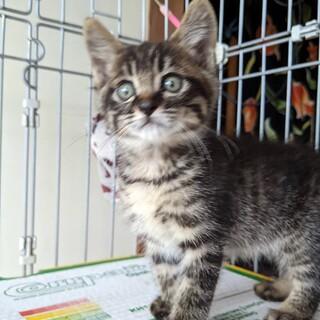 キジトラの人懐こい子猫 1か月半