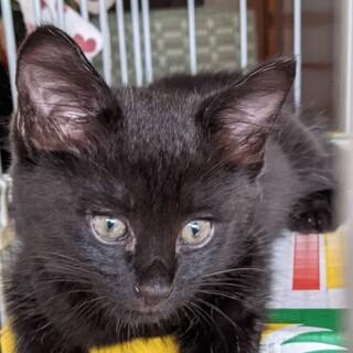 黒虎の美形子猫