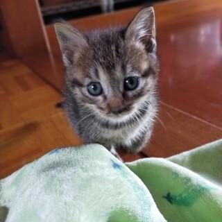キジトラ子猫オスです