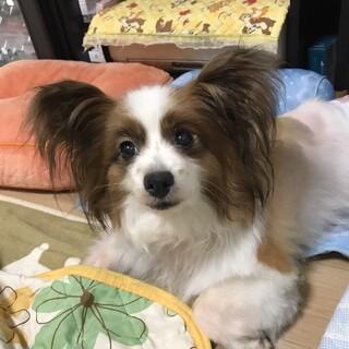パピヨン 6~8歳★ビビちゃん 繁殖引退犬