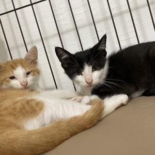 生後2ヶ月兄弟猫