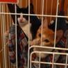 ちょっとビビりな子猫むぎくん☆茶白男子 サムネイル5