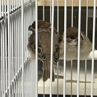 スズメ保護鳥2匹 里親様決定いたしました