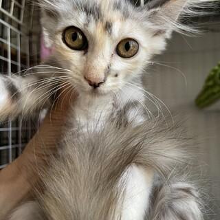 【アヴェダ】控えめなパステル三毛子猫