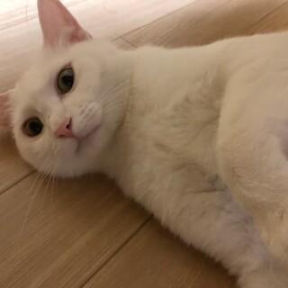 人懐こい真っ白なネコ
