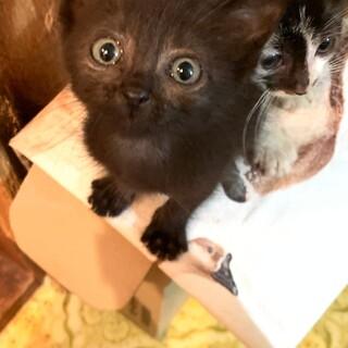 5週間 黒猫 あられちゃん