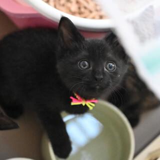 かわいい系の黒猫♂(ピンク)