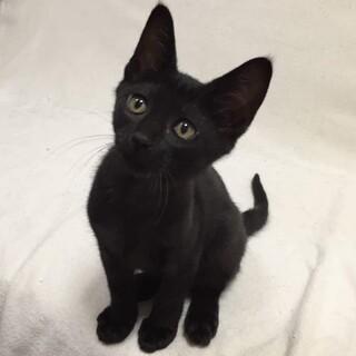 募集停止中 甘えん坊の黒猫!3ヶ月