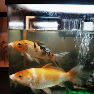 鯉2匹お譲りします