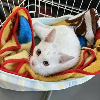 白猫のましろ君はいかが?