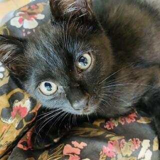 黒猫かぎしっぽくん♂里親募集