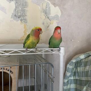 コザクラインコ2羽 セキセイインコ2羽里親さま募集