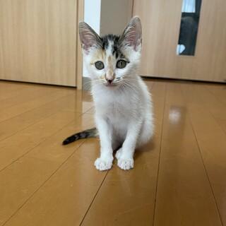 やんちゃで人懐っこい 飛び三毛柄の子猫