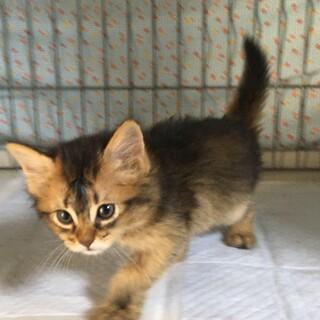 ソマリ とても、甘えたな子猫 2か月