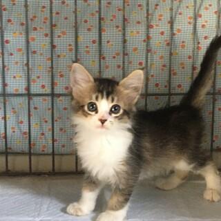 ソマリミックス とても優しい子猫 2か月