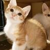 【募集一時停止中】お顔が可愛い!茶白子猫の島太郎!