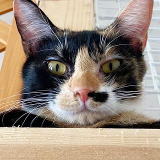 マイペースなミケ猫*ももちゃん(♀)・11ヶ月