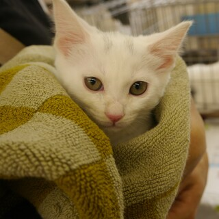 3か月の白色子猫・3姉妹