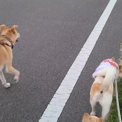お友達犬と一緒に散歩