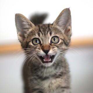 人間大好き元気なキジトラ子猫、桐生くん