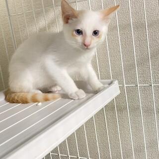 里親募集 白い猫でお顔と尻尾に茶シマありの男の子