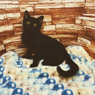 黒猫 男の子ゴマ