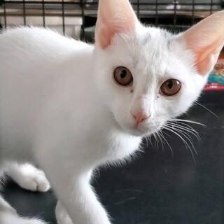 真っ白女の子・白子猫3姉妹