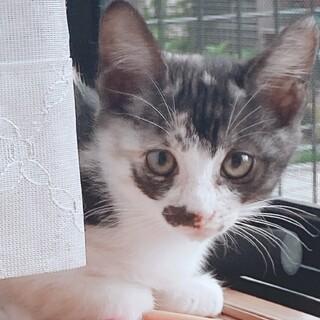 生後1.5か月★美人顔★可愛い三毛猫ちゃん